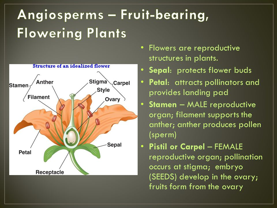 Angiosperms – Fruit-bearing, Flowering Plants