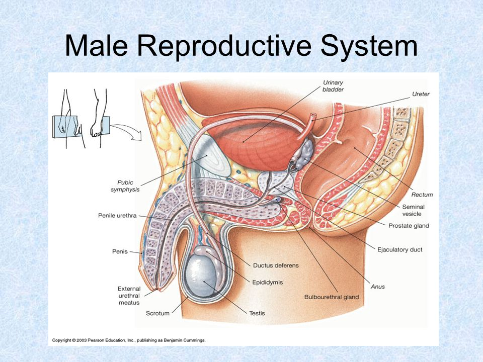 Reproductive System Male. - ppt video online download