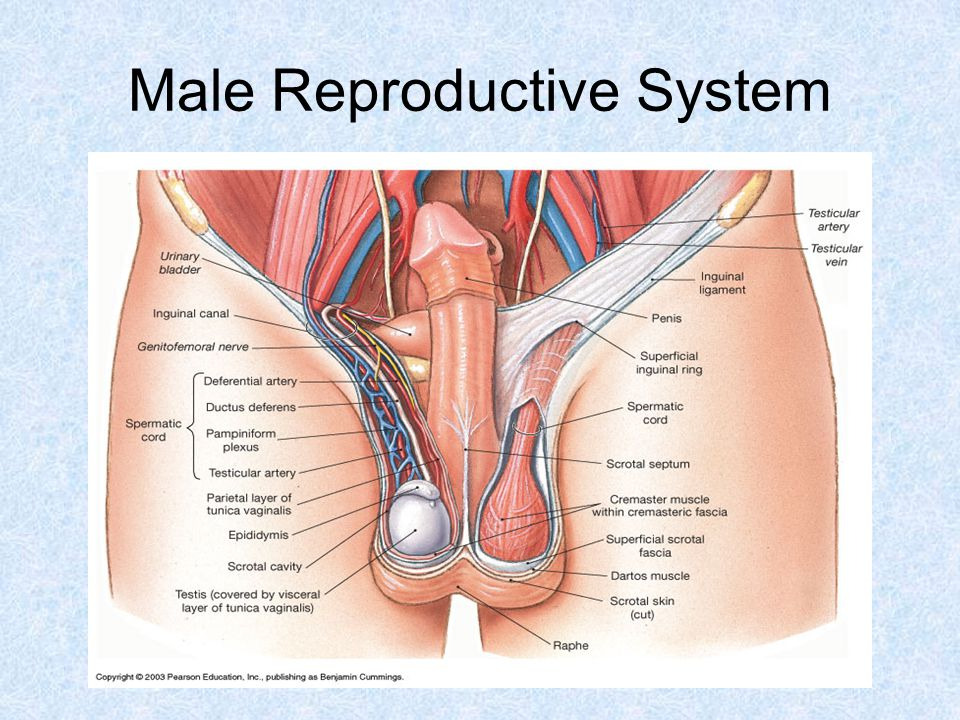 Reproductive System Male Ppt Video Online Download