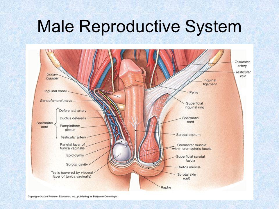 Beautiful Male Reproductive Anatomy Video Gift - Human Anatomy ...