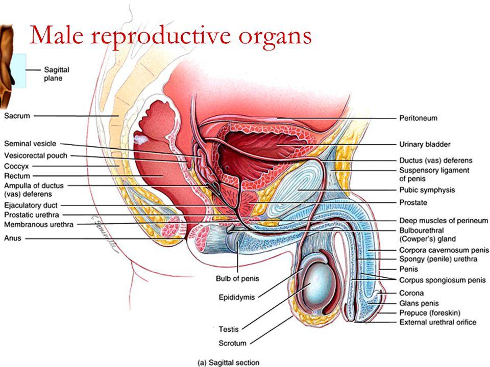 Normal Inguinal Anatomy Creativehobbyore