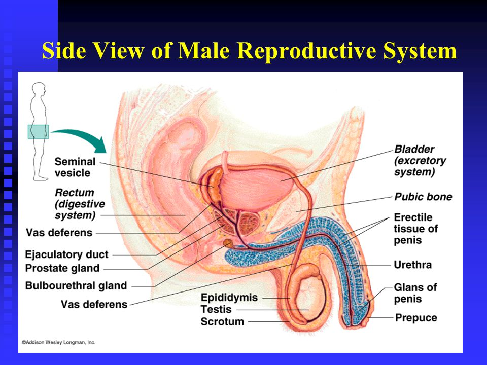 Chapter 14 The Reproductive System Ppt Video Online Download