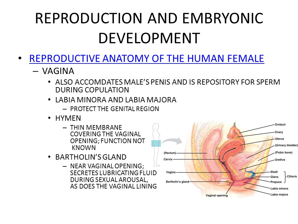 Embryionic formation of the vagina