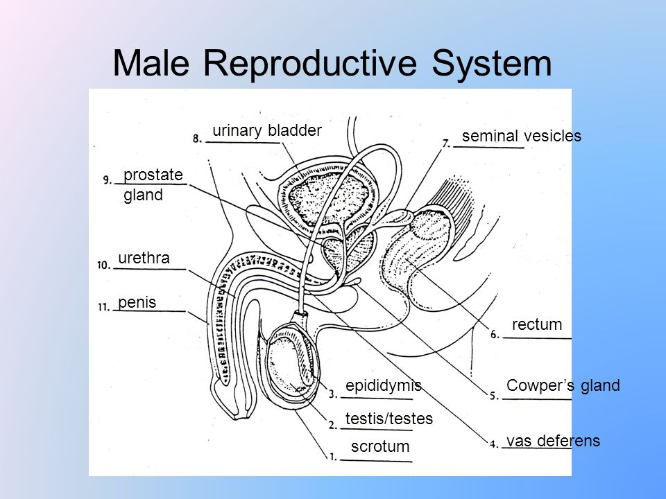 The Human Reproductive System Ppt Video Online Download