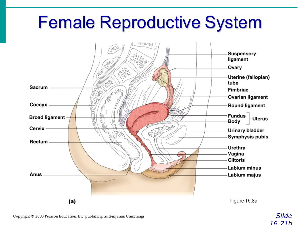 The Reproductive System - ppt video online download