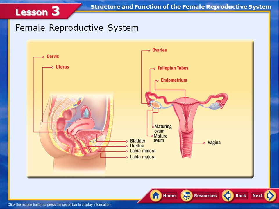 The Female Reproductive System - ppt video online download