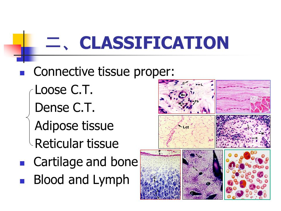 Connective Tissue Proper Ppt Download