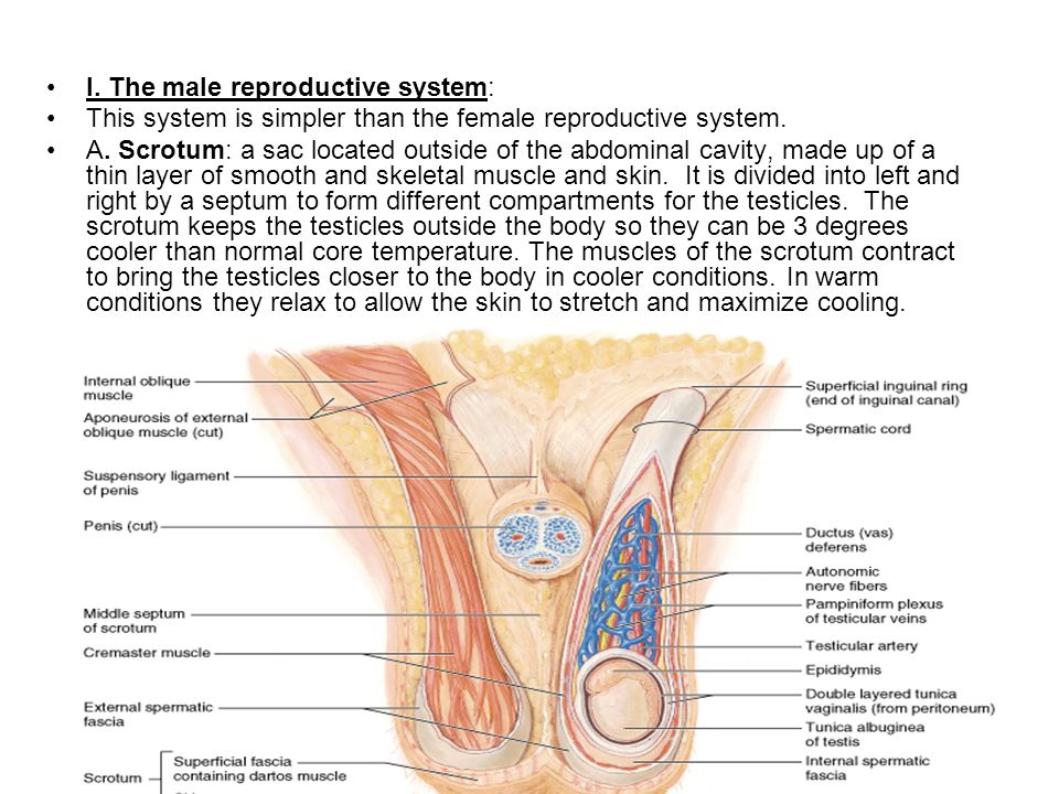 Reproductive System Human Anatomy Chapter Ppt Video Online Download