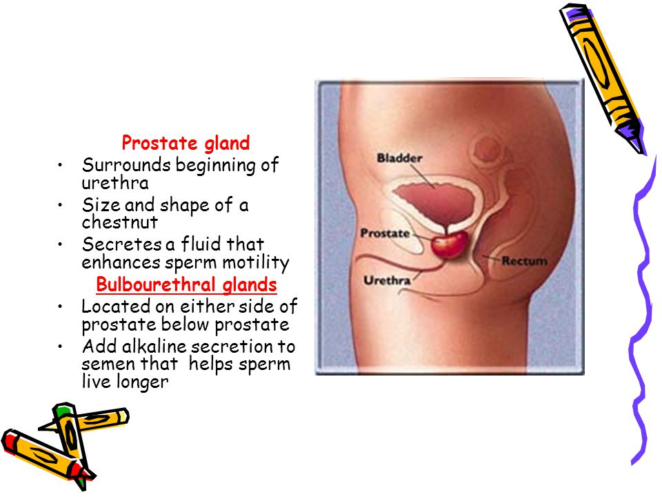 Reproductive System Explain The Structure Of The Male Reproductive