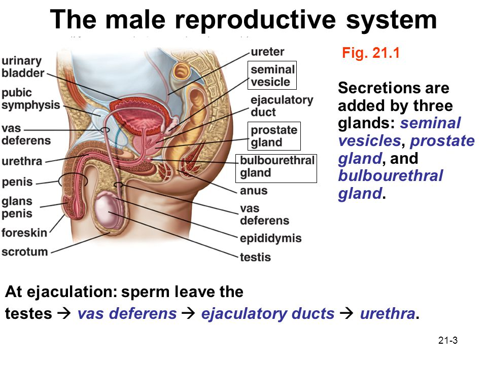 Chapter 21 Reproductive System Ppt Video Online Download