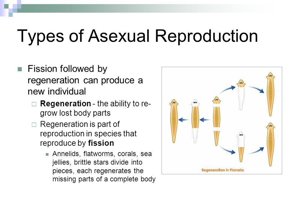 Regeneration asexual reproduction