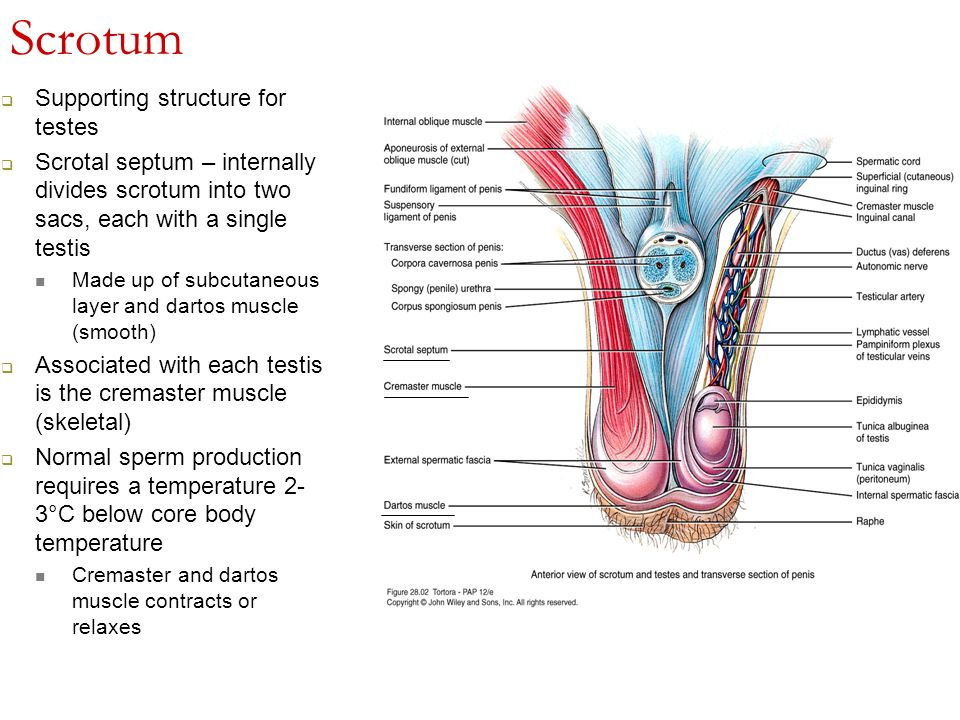Anterior Male Reproductive System Diagram Auto Electrical Wiring