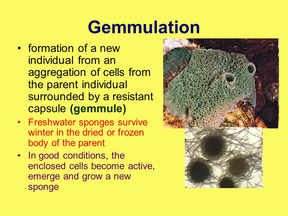 Gemmulation asexual reproduction budding