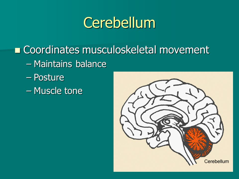 Cerebellum Coordinates musculoskeletal movement Maintains balance
