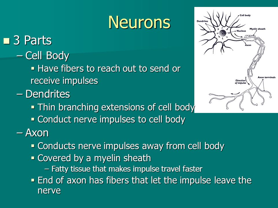 Neurons 3 Parts Cell Body Dendrites Axon