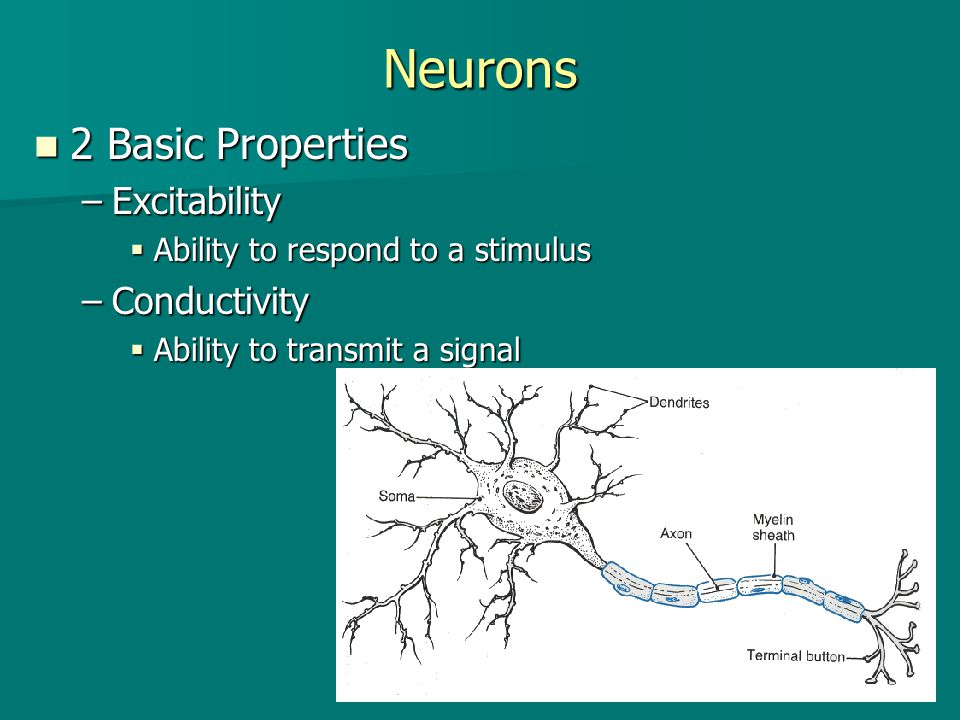Neurons 2 Basic Properties Excitability Conductivity