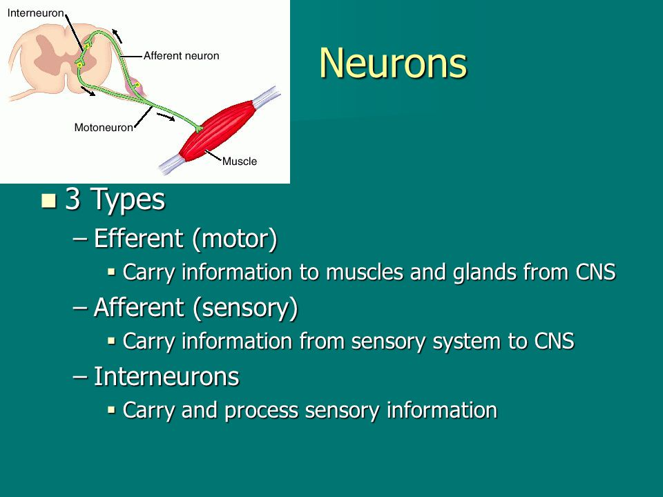 Neurons 3 Types Efferent (motor) Afferent (sensory) Interneurons