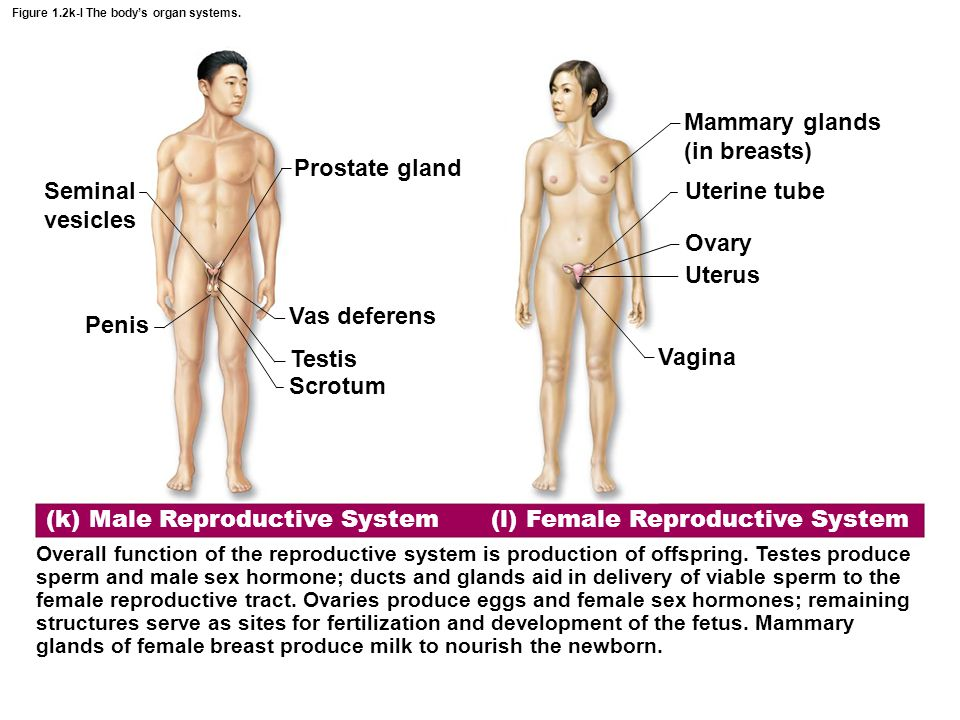 Figure 1.2k-l The body's organ systems.