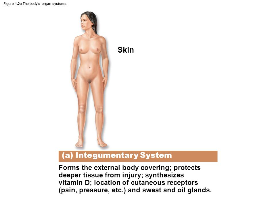 Figure 1.2a The body's organ systems.