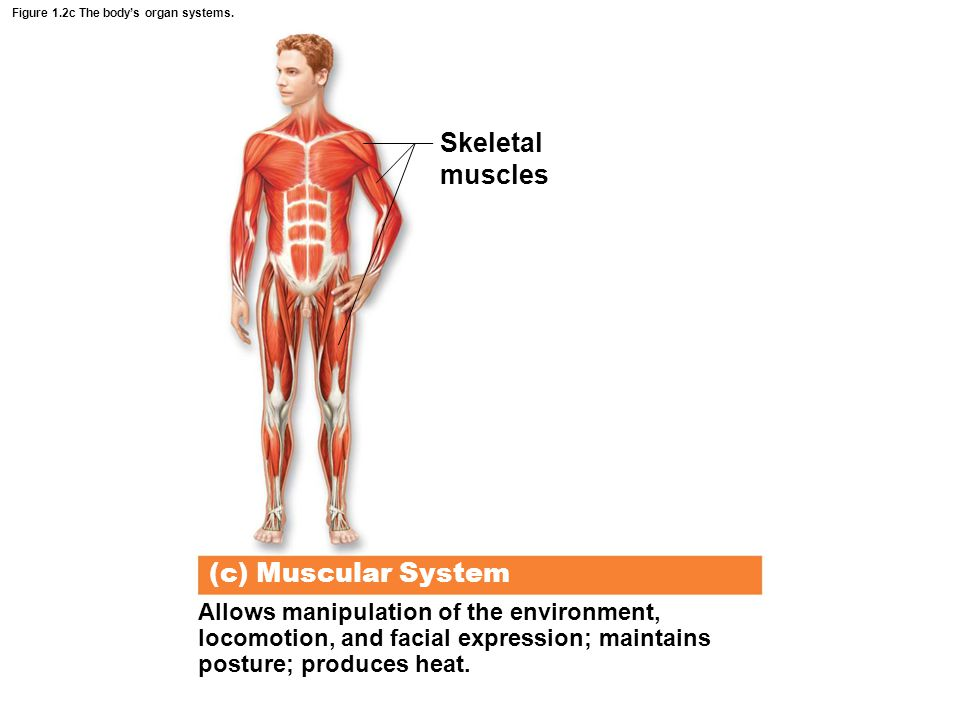Figure 1.2c The body's organ systems.