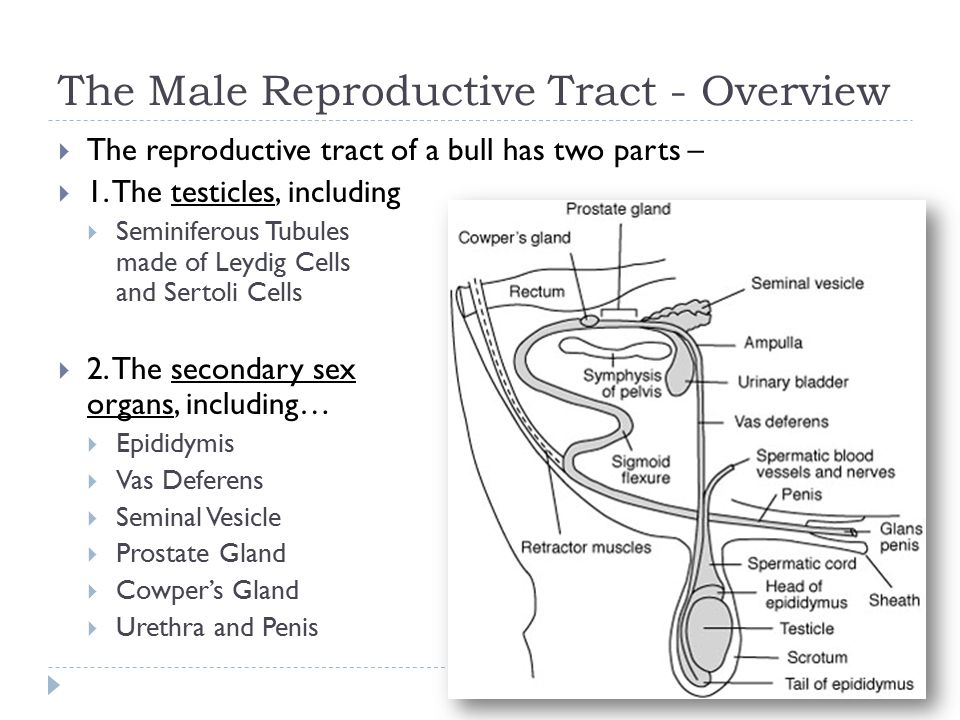 male reproductive anatomy of cattle ppt video online download rh slideplayer com