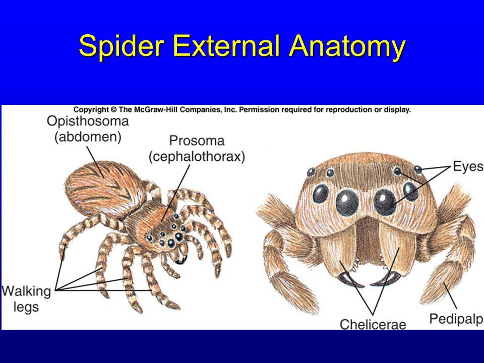 Subphylum Trilobita Subphylum Chelicerata - ppt video online download