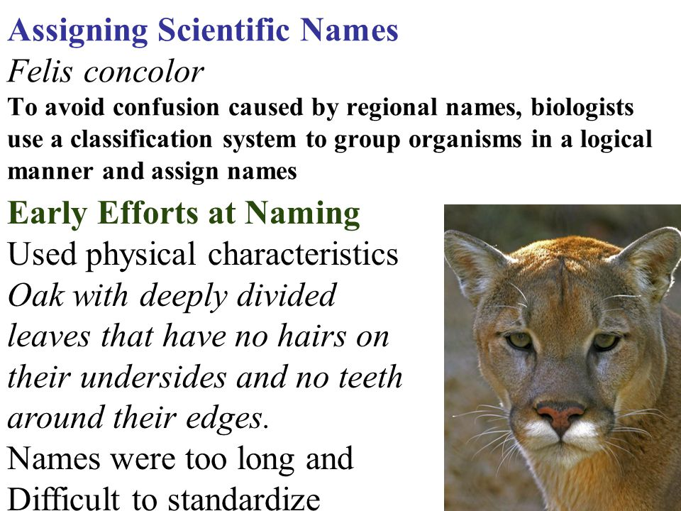 Assigning Scientific Names Felis concolor To avoid confusion caused by regional names, biologists use a classification system to group organisms in a logical manner and assign names