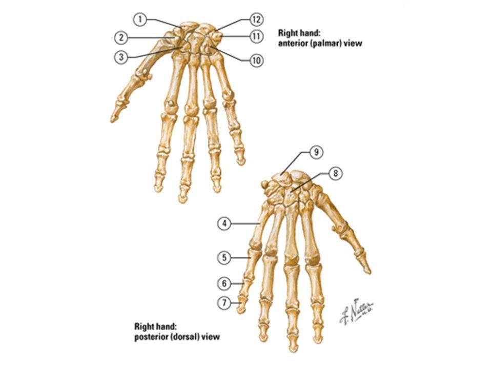 HAND ANATOMY. - ppt video online download
