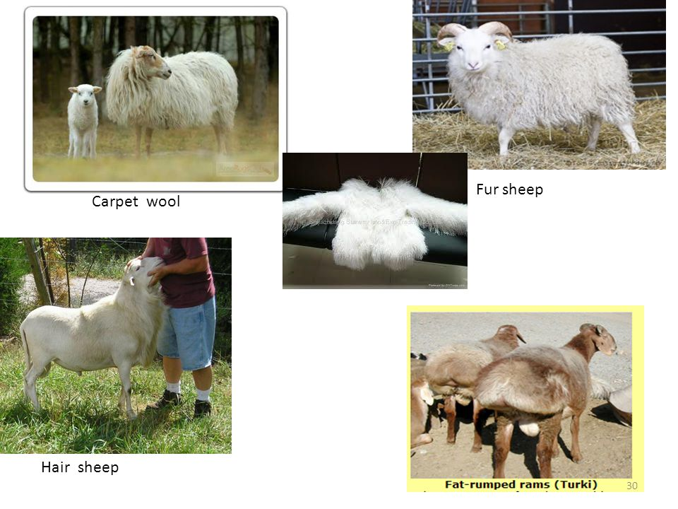 Ch2 Sheep and Goat Management - ppt video online download