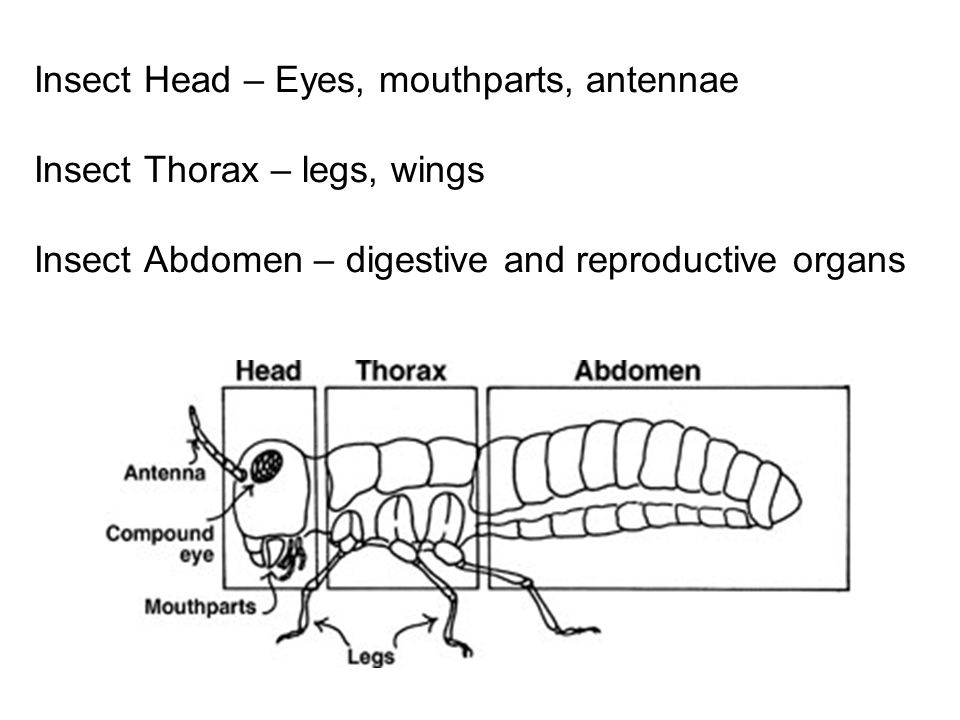 Insect+Head+%E2%80%93+Eyes%2C+mouthparts%2C+antennae+Insect+Thorax+%E2%80%93+legs%2C+wings+Insect+Abdomen+%E2%80%93+digestive+and+reproductive+organs insects ppt video online download