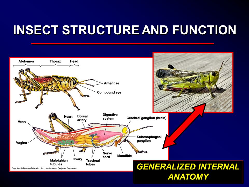 INSECT ANATOMY AND PHYSIOLOGY - ppt video online download