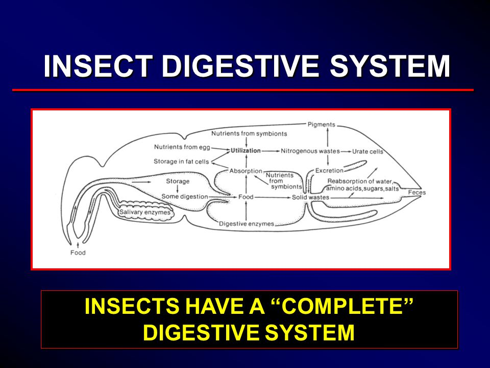 Insect anatomy and physiology ppt video online download 4 insects have a complete digestive system ccuart Image collections
