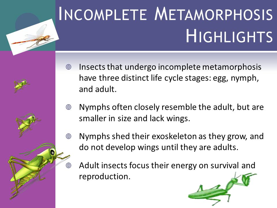 Paring Insect Life Cycles Ppt Video Online Download. Inplete Metamorphosis Highlights. Worksheet. Insect Metamorphosis Worksheet At Clickcart.co