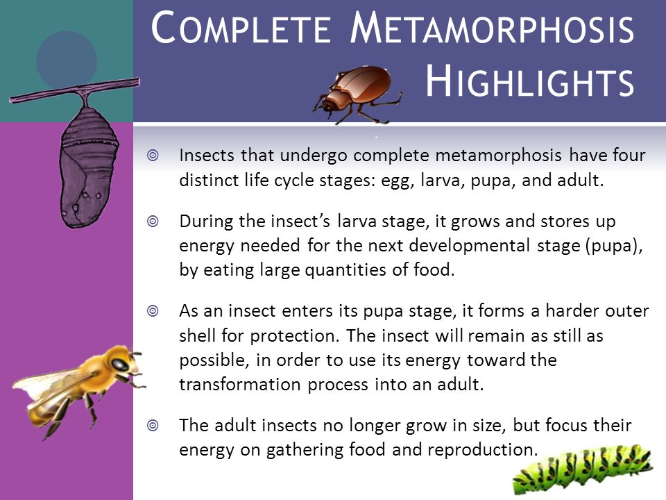 Paring Insect Life Cycles Ppt Video Online Download. Plete Metamorphosis Highlights. Worksheet. Insect Metamorphosis Worksheet At Mspartners.co