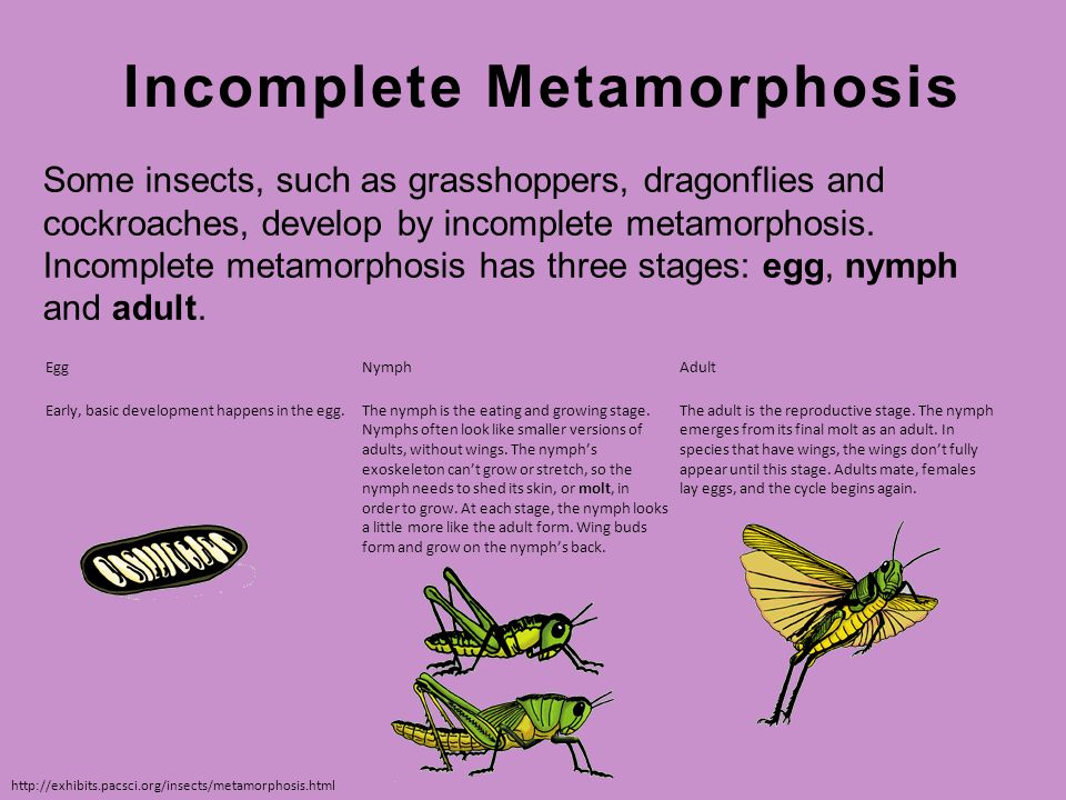 Paring Insect Life Cycles Ppt Video Online Download. Inplete Metamorphosis. Worksheet. Insect Metamorphosis Worksheet At Clickcart.co