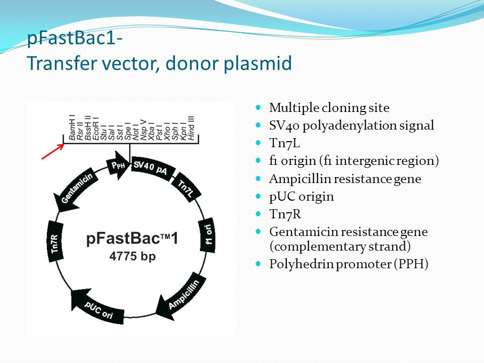 Baculovirus Expression Vector System (BEVS) - ppt video
