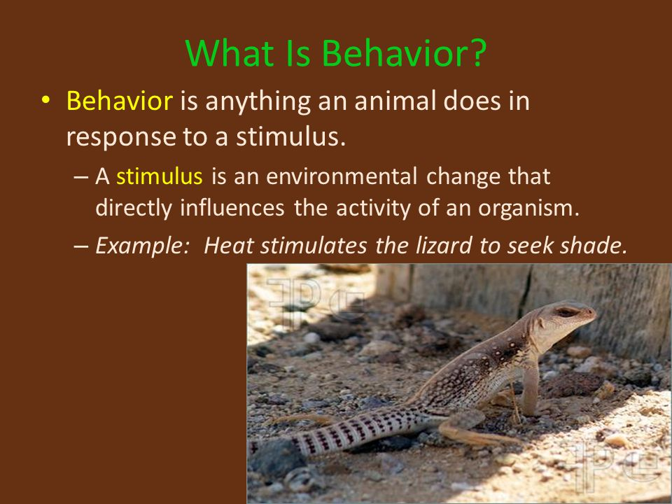 What Is Behavior Behavior is anything an animal does in response to a stimulus.