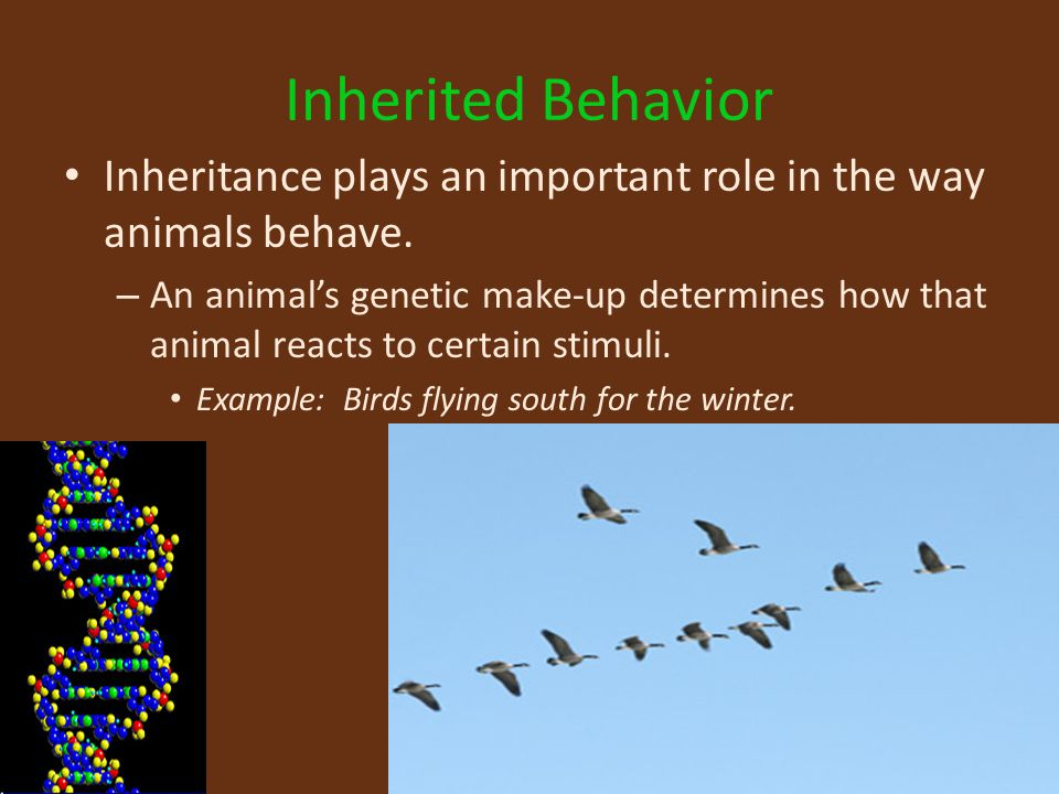 Inherited Behavior Inheritance plays an important role in the way animals behave.