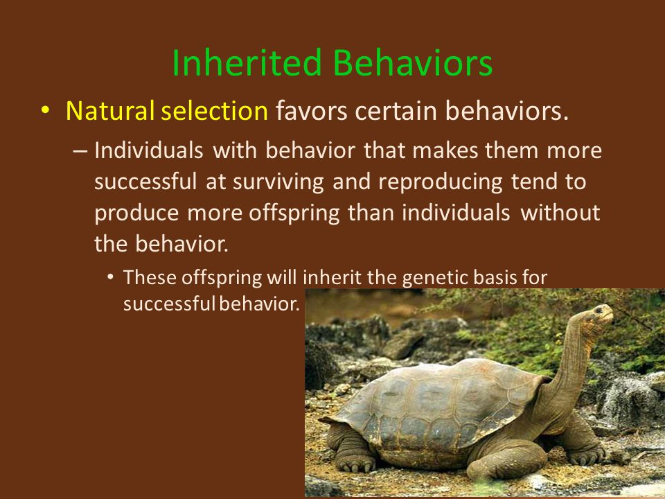 Inherited Behaviors Natural selection favors certain behaviors.
