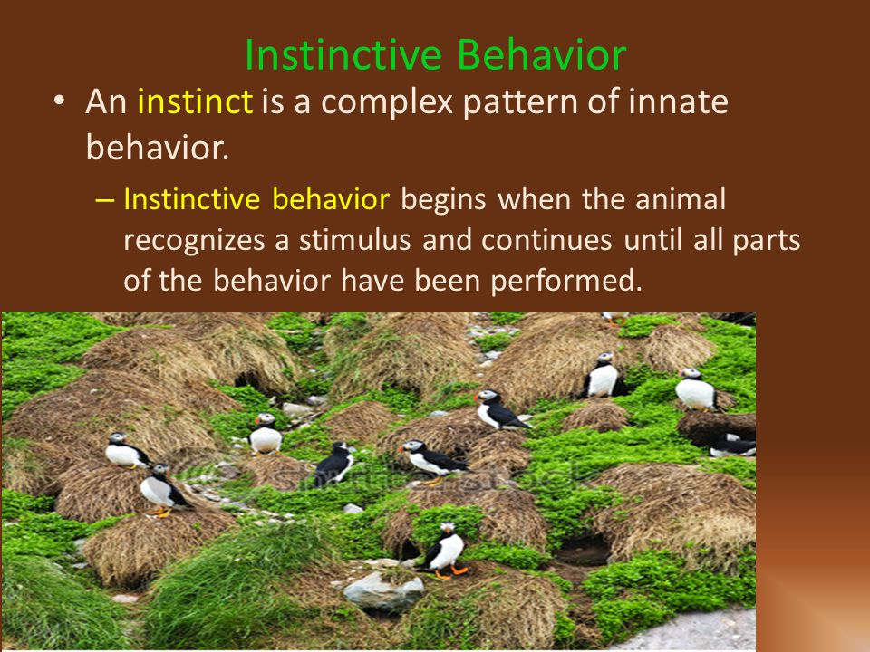 Instinctive Behavior An instinct is a complex pattern of innate behavior.