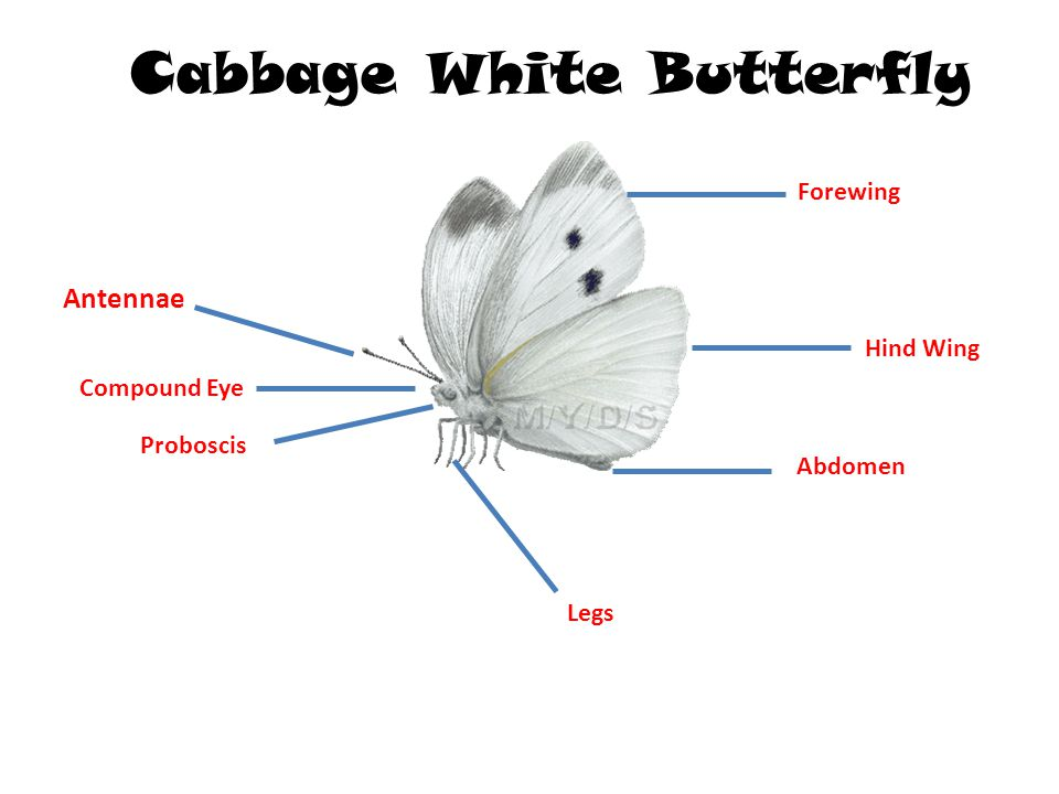 Cabbage White Butterfly Ppt Video Online Download