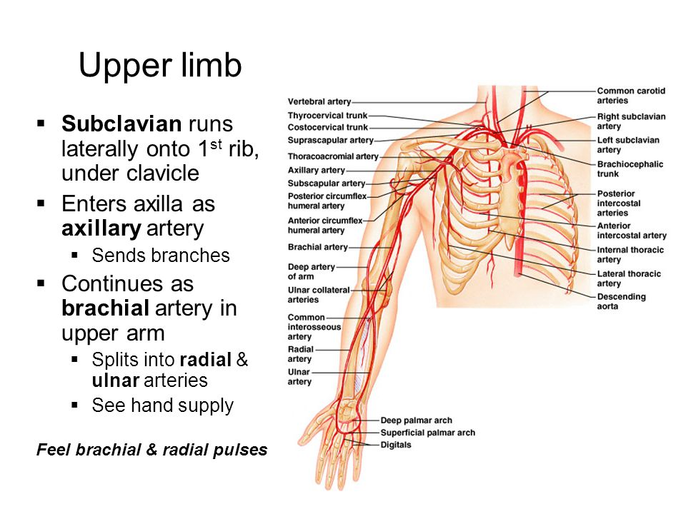 branches of axillary artery pdf