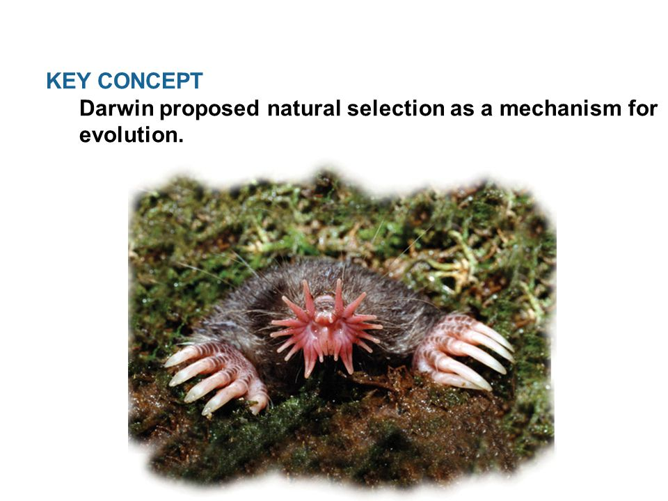 KEY CONCEPT Darwin proposed natural selection as a mechanism for evolution.
