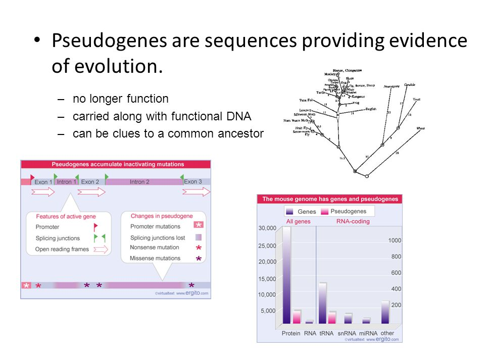 Pseudogenes are sequences providing evidence of evolution.
