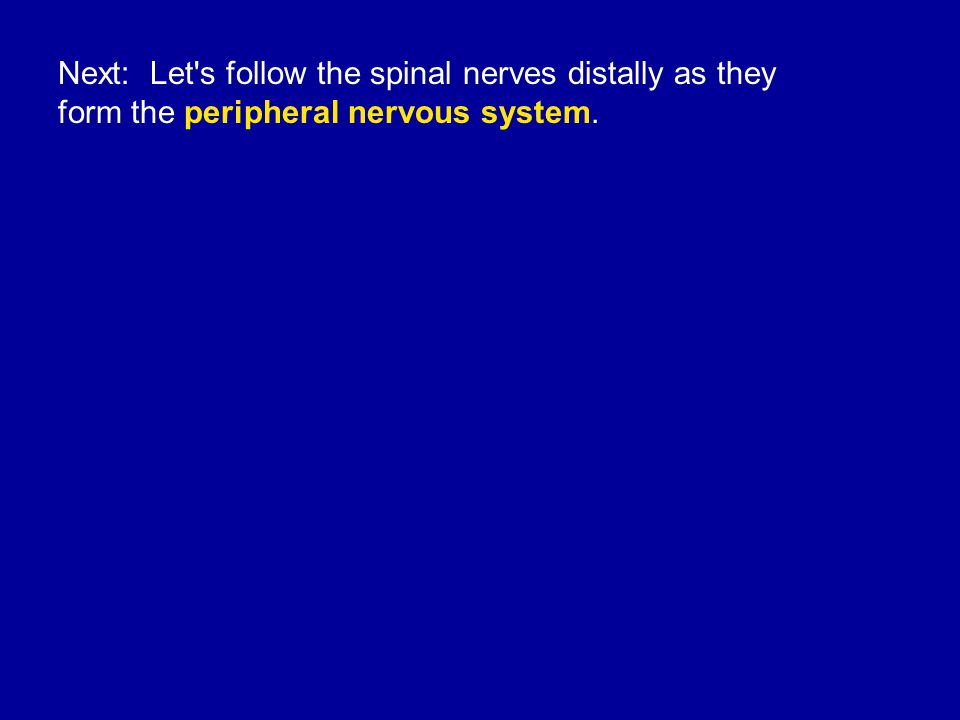 Next: Let s follow the spinal nerves distally as they form the peripheral nervous system.