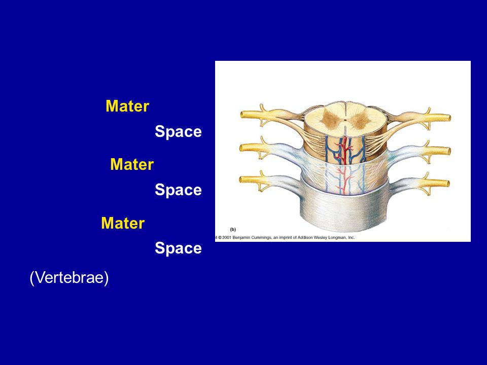 Space (Vertebrae) Mater