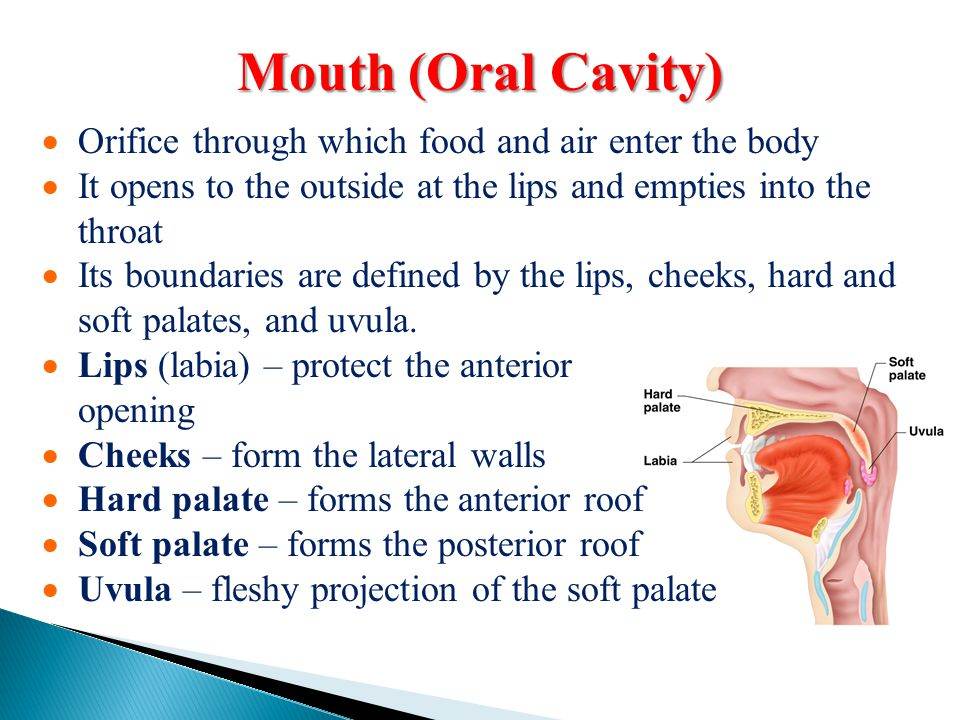 Mouth (Oral Cavity) Orifice through which food and air enter the body
