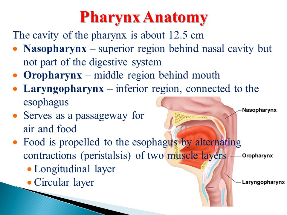 Pharynx Anatomy The cavity of the pharynx is about 12.5 cm