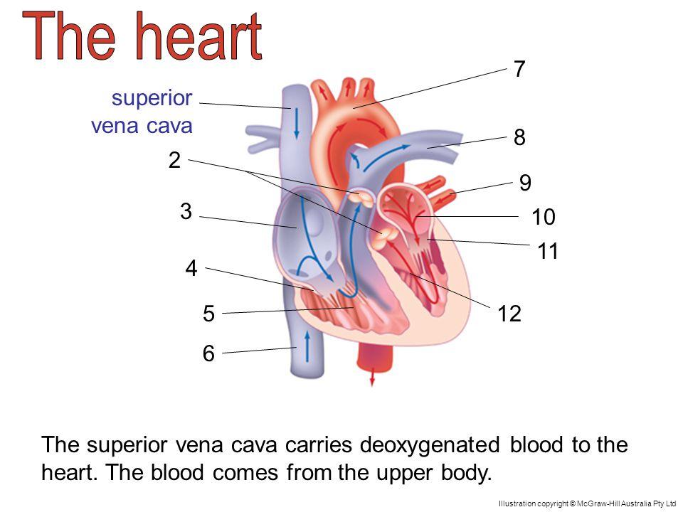Superior vena cava The superior vena cava carries deoxygenated blood ...