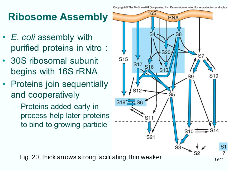 chapt 19 ribosomes and transfer rna ppt download rh slideplayer com